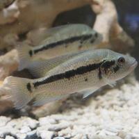 パラクロミス ドビー ニカラグア湖産 WF1 ♂ 14㎝ SOLD OUTのサムネイル