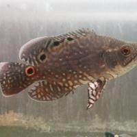 ワイルド アストロノータス ルブロオセラータス ネグロ ジャウアペリ 14㎝ SOLD OUTのサムネイル