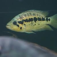 パラクロミス ロイズリー 15㎝ SOLD OUTのサムネイル
