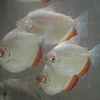 オレンジフィンミロソマ アラグアイア 11~13㎝ ¥6500のサムネイル