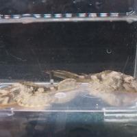 ヒポストムスspリオクルア 10㎝ ¥7500のサムネイル