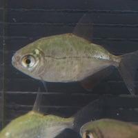 オニギリメチニス リオアリプアナ 4㎝ ¥7980のサムネイル