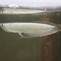 プラチナシルバーアロワナ コロンビア 20㎝ ¥798000のサムネイル