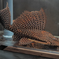 クイーンアカリボルタード ネグロ リオデミニ 28㎝ ¥59800のサムネイル