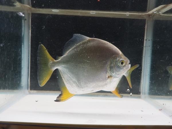 スーパーイエローフックミレウス アラグアイア下流産 12~13㎝ SOLD OUTのサムネイル