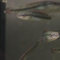 Wild クレニシクラ マルモラータ ジュルチ 11~12㎝ ¥15800(税込)のサムネイル