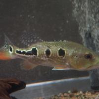 Wildシクラ オセラリス スリナム コランタインリバー 19~20㎝ ¥39800(税込)のサムネイル