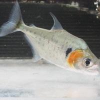 セラサルムス ヒュメラリス シングー 14㎝ ¥24800(税込)のサムネイル