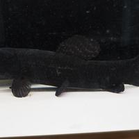 ブラックタライロン リオ タクトゥー 23㎝ 特価¥39800(税込)のサムネイル