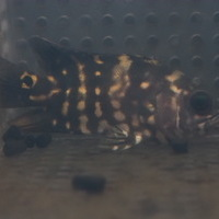 Wild アストロノータス クラッシピンニス アラグアイア下流産のサムネイル