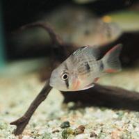 Wildミクロゲオファーガス アルティスピノーサ グアポレ 4~5㎝ ¥5980(税込)のサムネイル