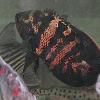 Wildアストロノータス クラッシピンニス レッドタイガー アラグアイア産 25㎝ SOLD OUTのサムネイル