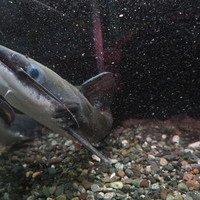 メガマウスキャット シングー河アルタミラ 30㎝ ¥120000(税込)のサムネイル