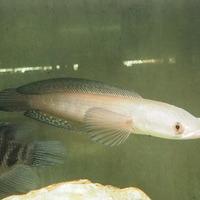チャンナ マルリオイデス 白変個体 25㎝ ¥450000(税込)のサムネイル