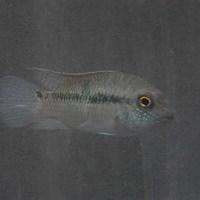 wildエキデンスspアタバポ 7~8㎝ ¥15000(税込)のサムネイル