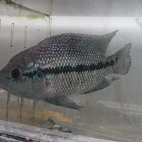 グリーンサウスアメリカンシクリッド ブリード♂ 20㎝ ¥29800(税込)のサムネイル