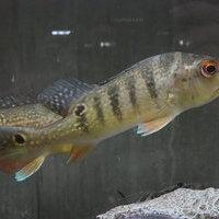 wildキクラcfオセラリス スリナム マロニーリバー 24㎝ ¥79900(税込)のサムネイル