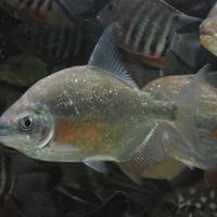 ドルフィンパクー アラグアイア 18㎝ ♂ SOLD OUTのサムネイル