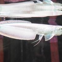 プラチナブラックアロワナ 16㎝ ¥700000(税込)のサムネイル