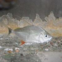 ウィンプルピラニア ネグロカイクビ 6㎝ ¥9900(税込)のサムネイル